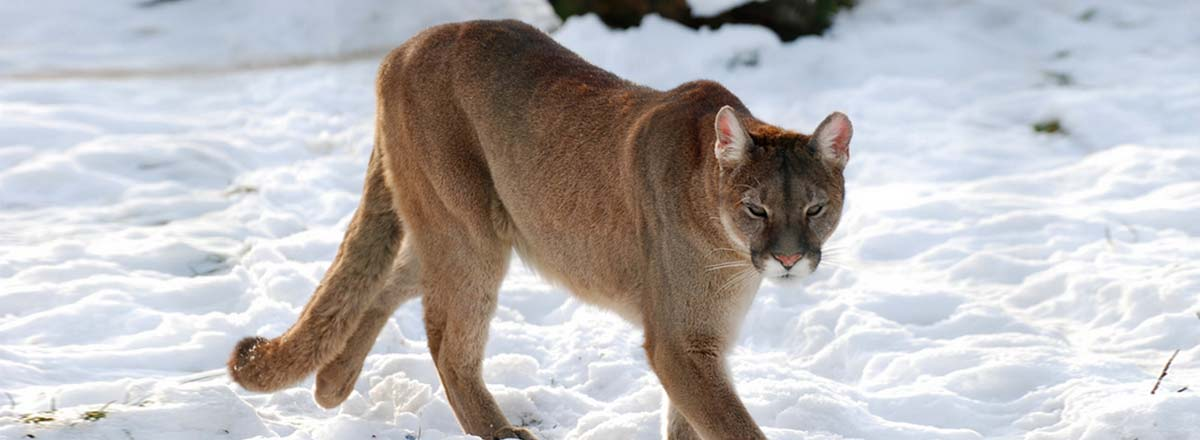Protecting Carnivores from Wildlife Services in Colorado