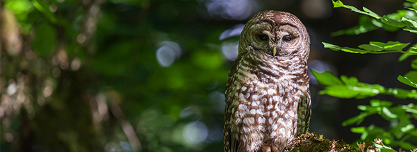 Preventing Northern Spotted Owl Extinction