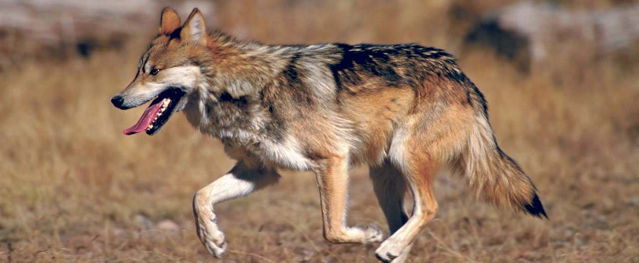 Protecting Mexican Wolves (NM & AZ)