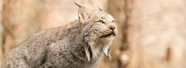 Protecting Canada Lynx in Washington State (WA)