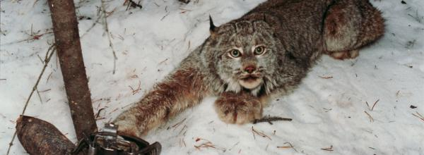 Victory! Lynx Trapping Challenge (ID)