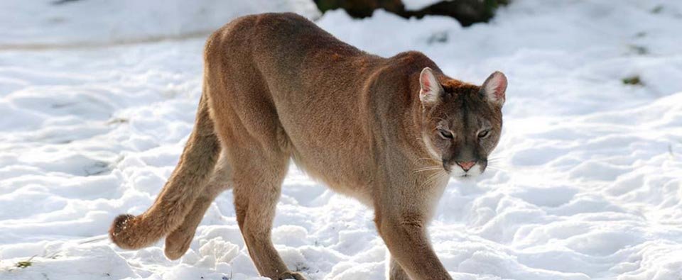 Protecting Cougars and Bears from Wildlife Services in Colorado