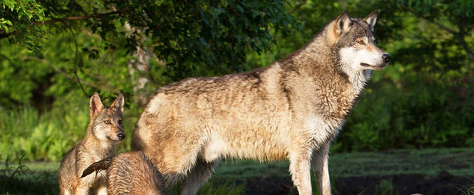 VICTORY! Stopping Wildlife Services from Killing Wolves in Washington
