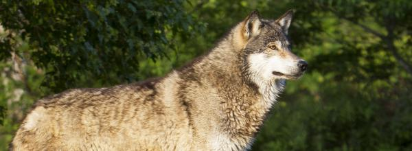 Victory! Stopping Wildlife Services from Killing Wolves (WA)