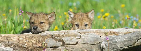 Stopping Wildlife Services from Killing Wolves (OR)
