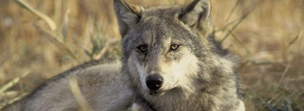 Pacific Gray Wolves in Oregon