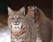 bobcat-by-wildlife-ohiodnr-gov_