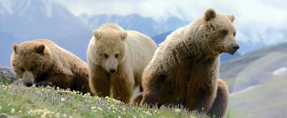 Protecting Grizzly Bears (Nation)