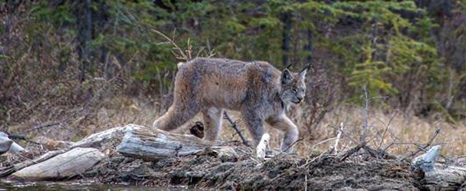 Victory! Canada Lynx Critical Habitat Designation (Nation)