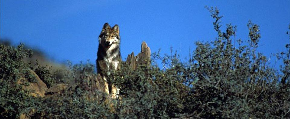 Protecting Mexican Wolves