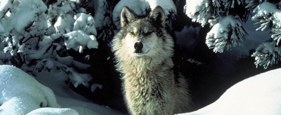 Pacific Gray Wolf Restoration in Washington