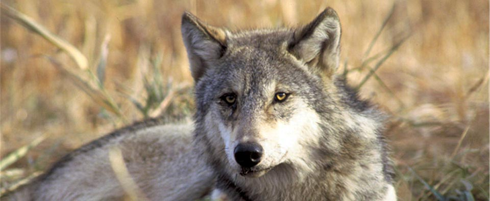 Pacific Gray Wolf Restoration in Oregon