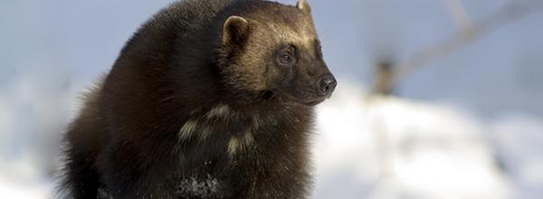 Victory! ESA Protection for Wolverine