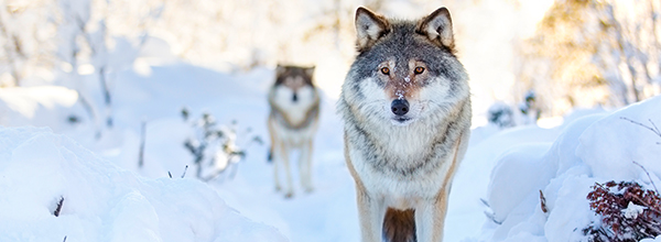 Restoring gray wolf protections nationwide