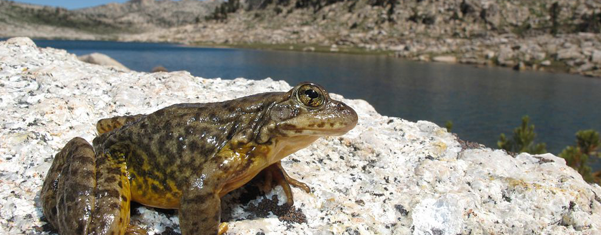 Protecting Amphibians in the Sierra Nevada's Meadows