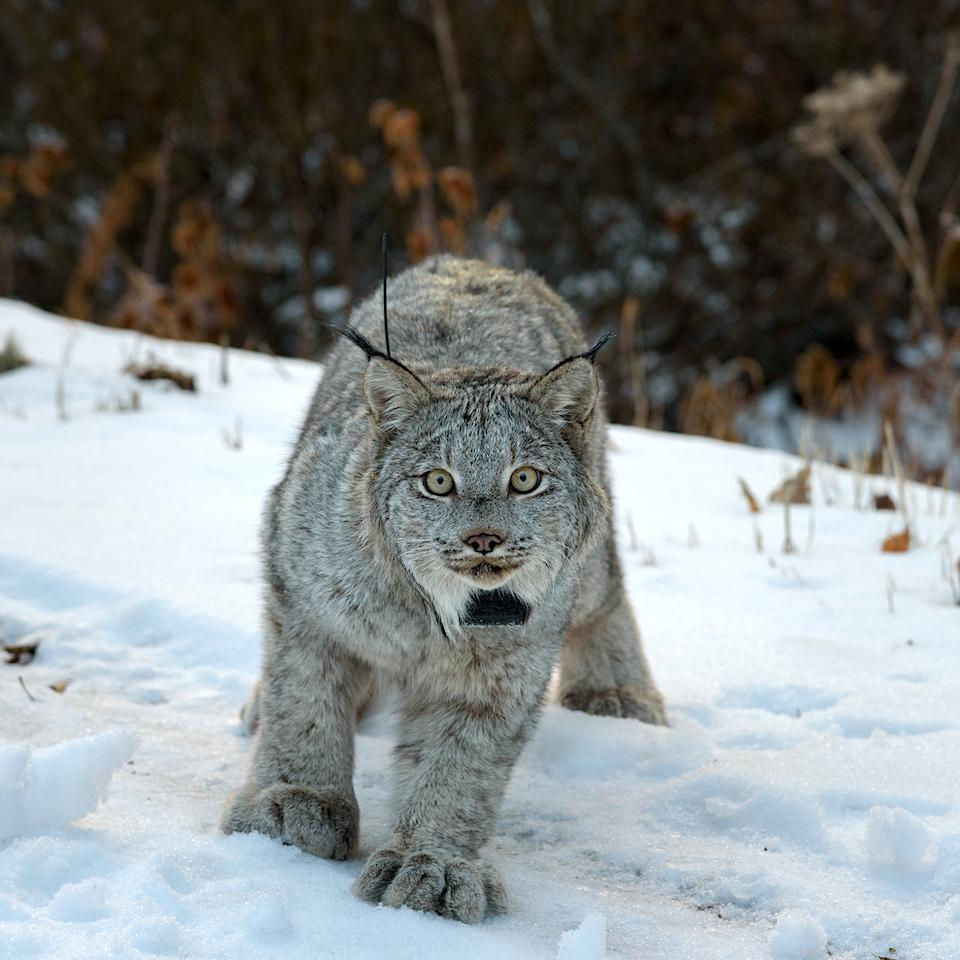 Canada lynx (Credit: USFWS/Dash Feierabend)